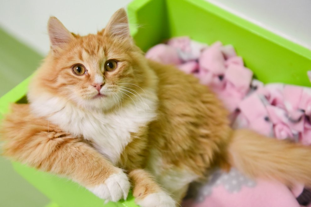 an orange and white cat in a box
